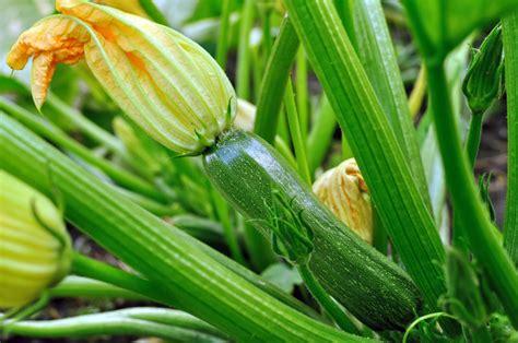 zucchini pflanzen pflege so gelingt die zucchini pflege 187 die besten tipps im 220 berblick