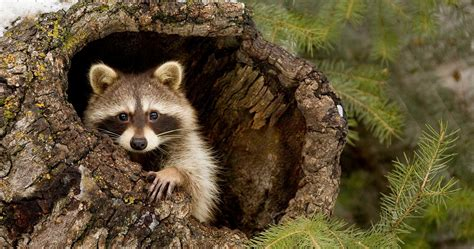 Free Animal Wallpaper - raccoon animal wallpapers