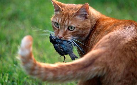 domestic cats  destroying australias native bird species