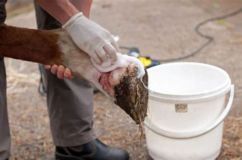 mauke tipps zur behandlung der hautinfektion bei pferden