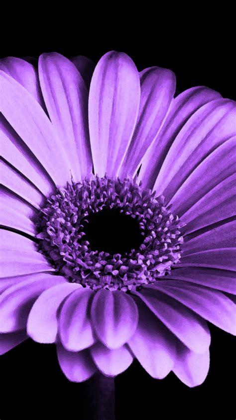 wallpaper daisy flower purple hd  flowers