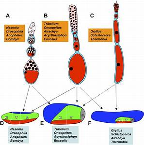 Comparison Of The Main Ovary And Embryo Types Among