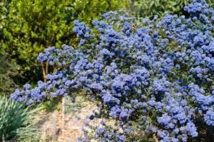 Yellow Flowering Shrubs Australia