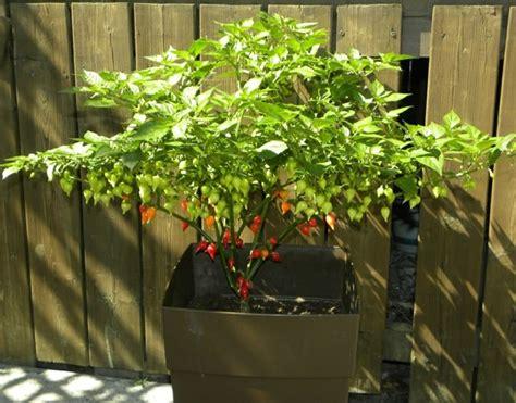 planter du poivron des soins et des conseils