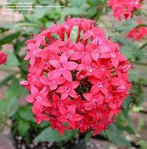 PlantFiles Pictures: Egyptian Star Cluster, Star Flower ...