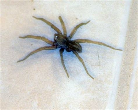what does a wolf spider look like giant camel spider web quotes