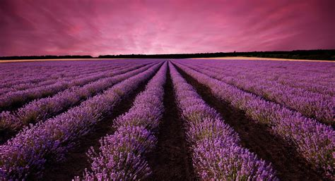 Lavender Wallpapers Images Photos Pictures Backgrounds