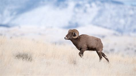 do bighorn sheep shed their horns bighorn skull and horn recovery in montana gohunt