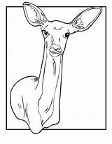Coloring Deer Pages Doe Printable Print Tailed Animal Jr Printer Send Button Special Only перейти Animaljr Comments sketch template