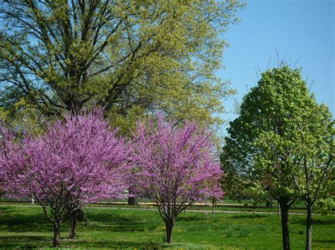 small ornamental trees small trees for small gardens pictures to pin on pinterest pinsdaddy