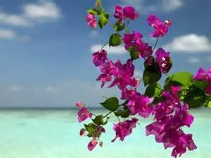 Bougainvillea Flowers on a Beach Bora Bora - Flowers ...