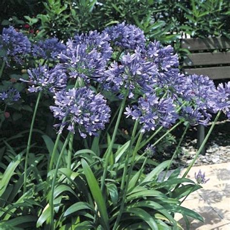 of nile flower agapanthus seeds for sale perennial flower seeds