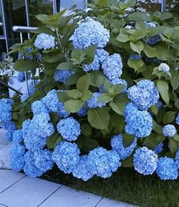 Blaudünger Für Hortensien : 2x bauern hortensie in topf in hof bis 1 5 meter sonne bis halbschatten saure erde ~ Michelbontemps.com Haus und Dekorationen