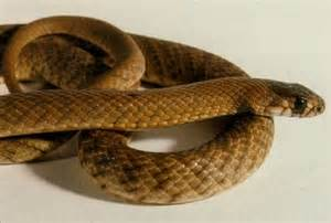 treatment of australian snake bites