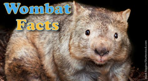wombat facts pictures information  kids adults