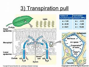 Chapter 9 Transport in Plants Lesson 3 - The 3 mechanisms ...