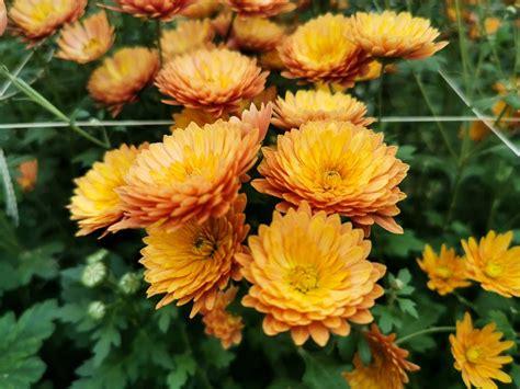 Krizantēmas - citviet kapu puķes, pie mums dārza rudens ...