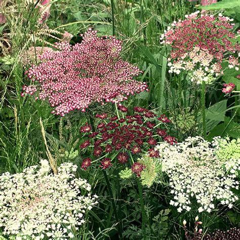 http://www.crocus.co.uk/plants/_/daucus-carota-dara/classid.2000021693/