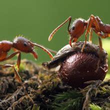 fear  ants phobia myrmecophobia
