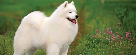 Samoyed Dog Breed Profile Petfinder