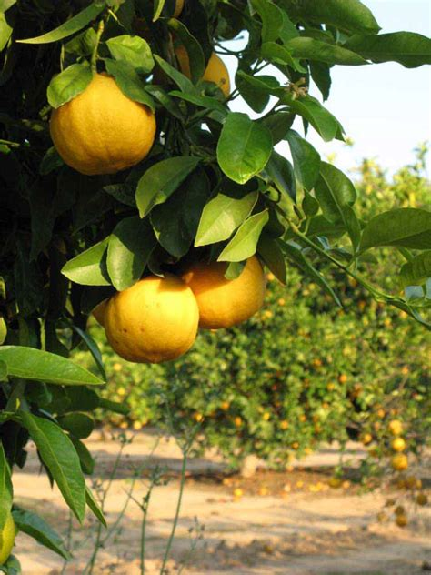 citrus id fact sheet bergamot