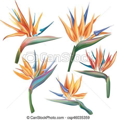 fiore sterlizia fiore bird of paradise reginae strelitzia
