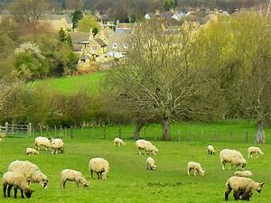Sheep In Classic English Landscape And Pastures Near ...