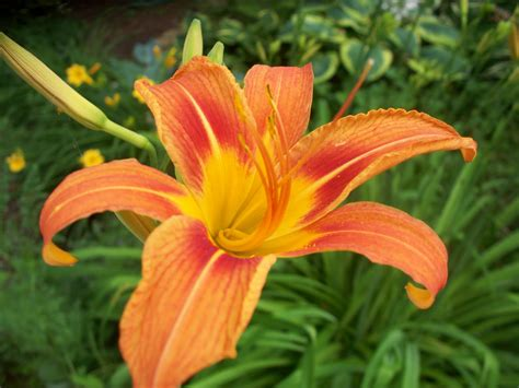 garden beauty multiple colors of lilies
