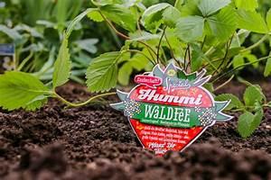 Wann Pflanzt Man Hortensien : wann pflanzt man clematis wann pflanzt man erdbeeren ~ Yasmunasinghe.com Haus und Dekorationen