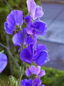 Purple Sweet Pea Flowers