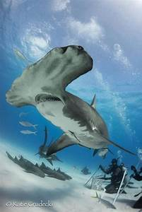 Tiger Shark Vs Hammerhead Shark
