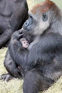 Newborn baby gorilla at Melbourne Zoo reacts to the ...