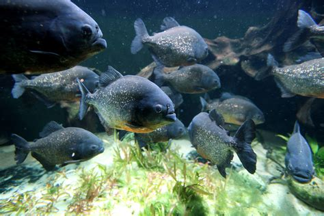 Deadly Piranhas Maul Ten Swimmers In Paraná River