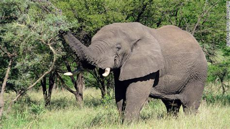booming illegal ivory trade  severe toll  africas
