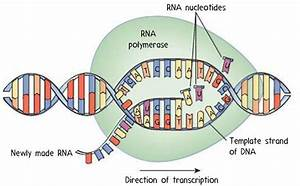 Transcription    Rna Synthesis