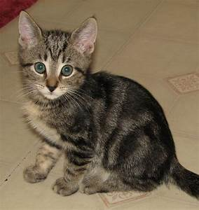 O'Balley (marbled brown tabby male) Adopted - Cat & Kitten ...