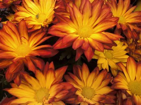 orange mums sunset orange colored fall mum fall gardens pinterest fall mums flower and flowers