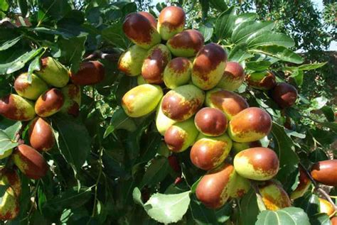 Fructe carnoase
