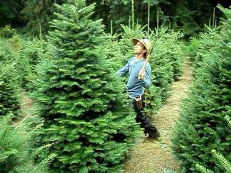 pruning christmas trees two tree shearing method