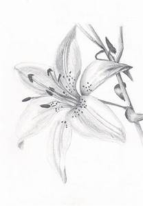 Lily Flower Drawings Rose Pictures