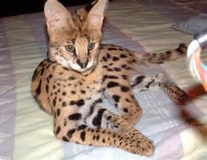 serval cat price serval cat page 4 babycenter