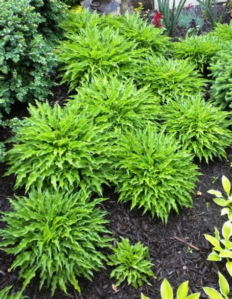 can hostas survive in sun top 28 can hostas survive in sun hosta wishing well large sun tolerant disease free 3 quot