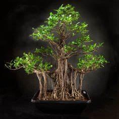 Comment Tailler Un Ficus : 20 images passionnantes de bonsai ficus retusa bonsai ~ Melissatoandfro.com Idées de Décoration