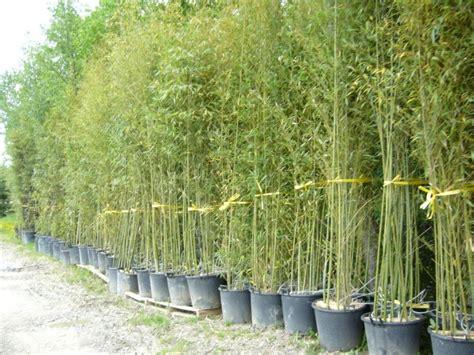 cour de cuisine gratuit en ligne prix bambou en pot 28 images bambous balcon et