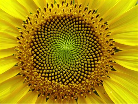 golden ratio plants mathematical patterns in plants fibonacci and the golden ratio plan e t