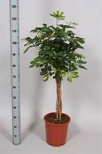 Zimmerpflanze Große Blätter : moderne zimmerpflanzen als frische deko f rs zuhause ~ Lizthompson.info Haus und Dekorationen