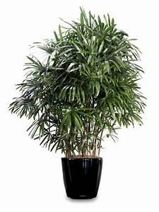 Blühende Zimmerpflanzen Pflegeleicht : palmenarten zimmerpflanzen rhapis excelsa geh rt zu den ~ Michelbontemps.com Haus und Dekorationen