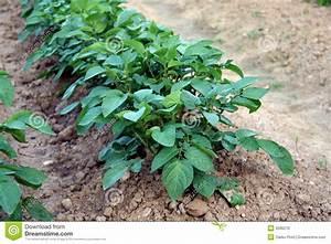 Période Pour Planter Les Pommes De Terre : plante de pomme de terre photo stock image 9586270 ~ Melissatoandfro.com Idées de Décoration