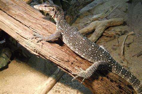 nile monitor asian water monitor reptile amphibian discovery zoo
