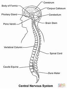 Central Nervous System Coloring Page